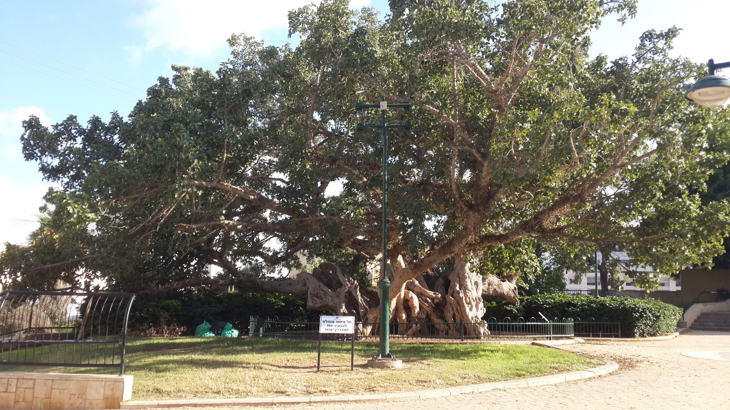 עץ השקמה של הכפר
