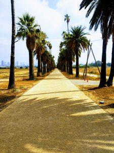 שדרת הדקלים במקווה ישראל